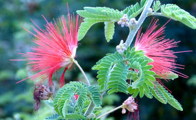 Calliandra californica: Baja Fairy Duster
