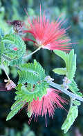 Strawberries Calliandra Californica: Baja Fairy Duster