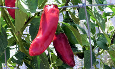 Growing Chili Peppers Organically In Hot Dry Climates
