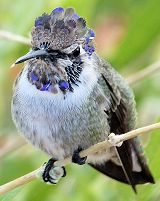 Juvenile Blue Throated Hummingbird