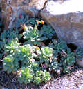Succulent shaded by rock