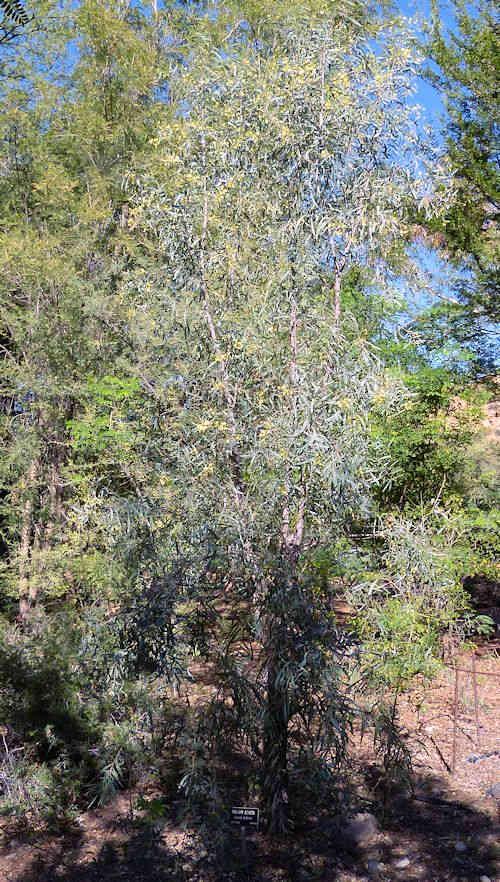 Growing Acacia Salicina Willow Acacia