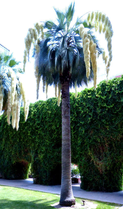Growing Brahea Armata Mexican Blue Palm