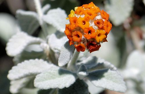 Growing Buddleja Marrubiifolia Woolly Butterfly Bush