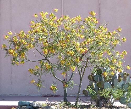caesalpinia gilliesii bird of paradise shrub yellow bird of paradise. Black Bedroom Furniture Sets. Home Design Ideas