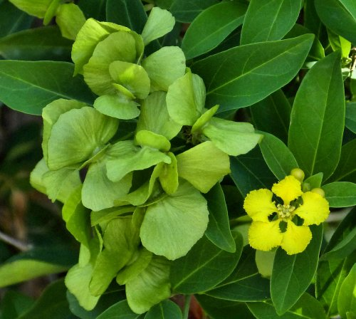 Growing Callaeum Macropterum Yellow Orchid Vine