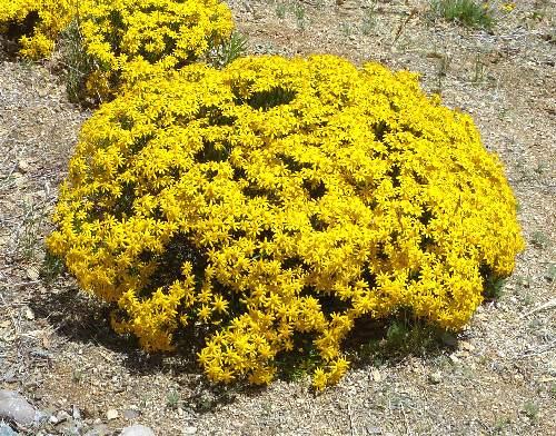 Growing Chrysactinia Mexicana Damianita