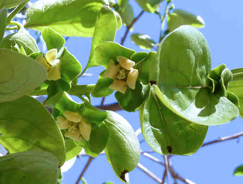 persimmon fruit how to grow