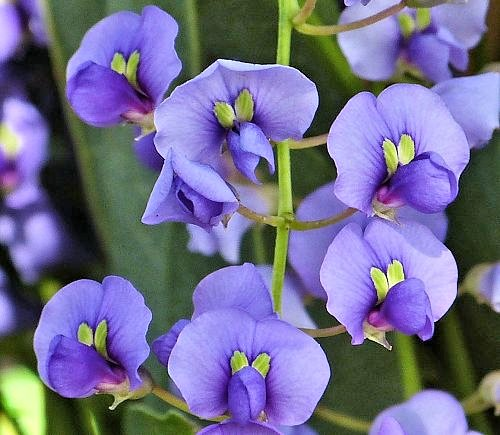 Hardenbergia violacea: Coral-pea - flowers