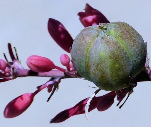 Growing Hesperaloe Parviflora Red Yucca