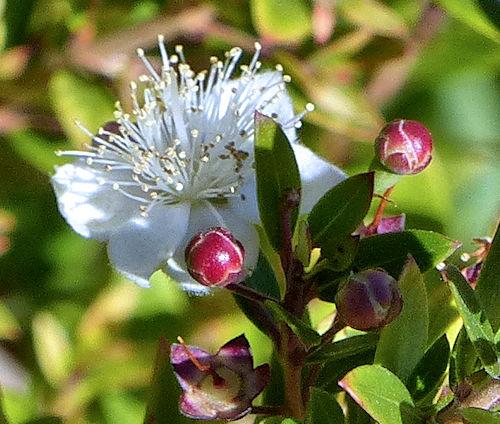 flowers myrtus-ის სურათის შედეგი