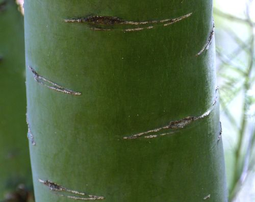Growing Parkinsonia Florida Blue Palo Verde