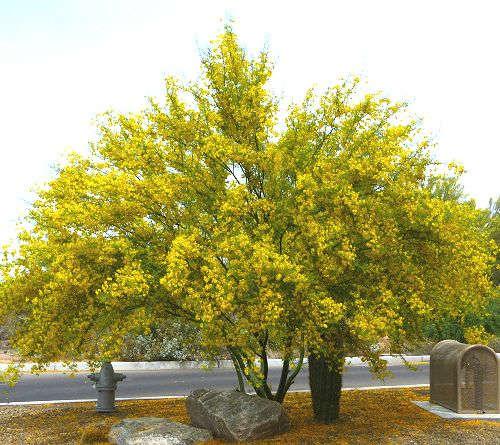 parkinsonia hybrid desert museum hybrid palo verde