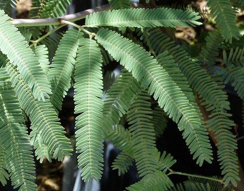 Yard And Garden >> Growing Prosopis hybrid: Hybrid Mesquite