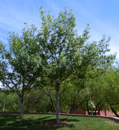 Growing Quercus Buckleyi Texas Red Oak