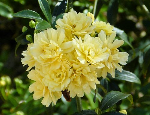 Rosa banksiae leaf