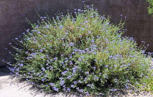 Growing Salvia Clevelandii Cleveland Sage