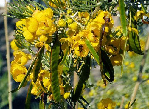 Growing Senna Artemisioides Silver Senna