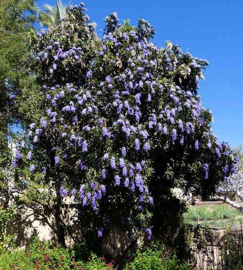 growing sophora secundiflora texas mountain laurel