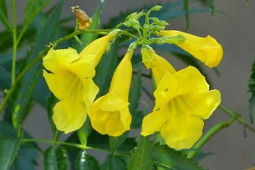 Tecoma stans var angustata yellow bells mightylinksfo