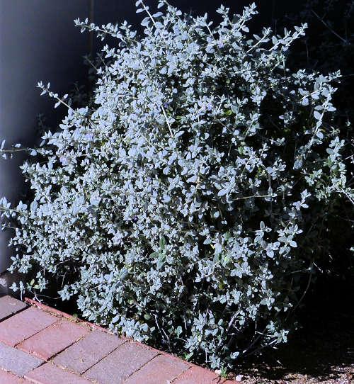 Growing Teucrium Fruticans Bush Germander