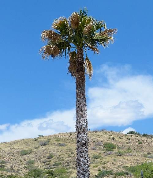 Garden Watering System >> Growing Washingtonia filifera: California Fan Palm